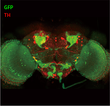 Whole adult Drosophila brain stained using DeepLabel with anti-GFP (green) and anti-TH (red)